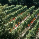 Hand-picking in the vineyards, Casa Larga Vineyards