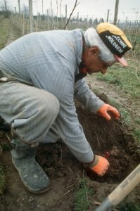 Mr. C working in the vineyard