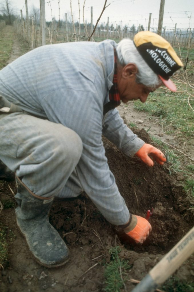 Mr C planting new vines, Casa Larga Vineyards