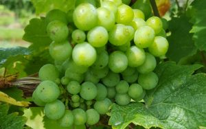 Plump green grapes, Casa Larga Vineyards