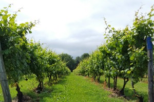 Beautiful views of the vineyards