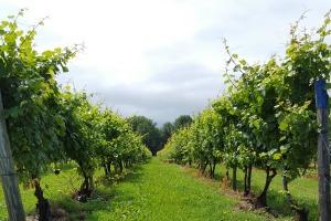 Views of the vineyard, Casa Larga Vineyards