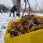 Harvesting ice wine grapes involves shaking them off the vine and collecting them in colorful bins.