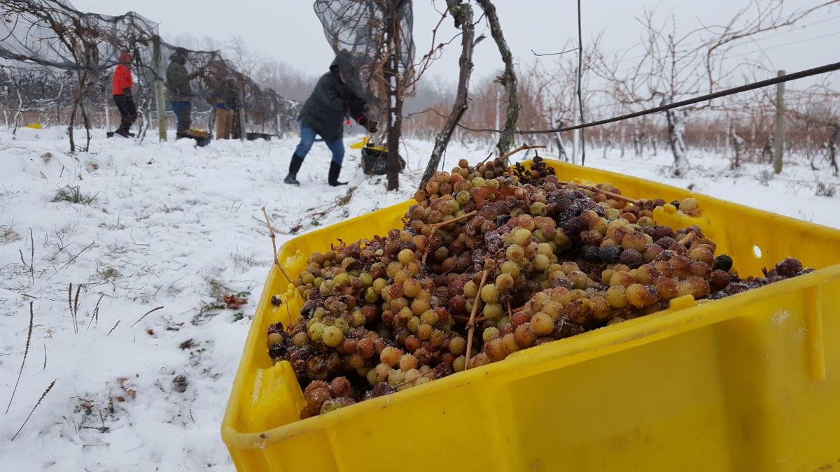 Casa Larga Vineyards ice wine harvest