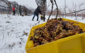 Ice wine harvesting, Casa Larga Vineyards