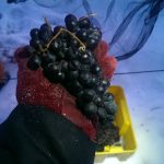 A cluster of frozen Cabernet Franc grapes.