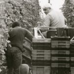Mr. C harvesting grapes, Casa Larga Vineyards