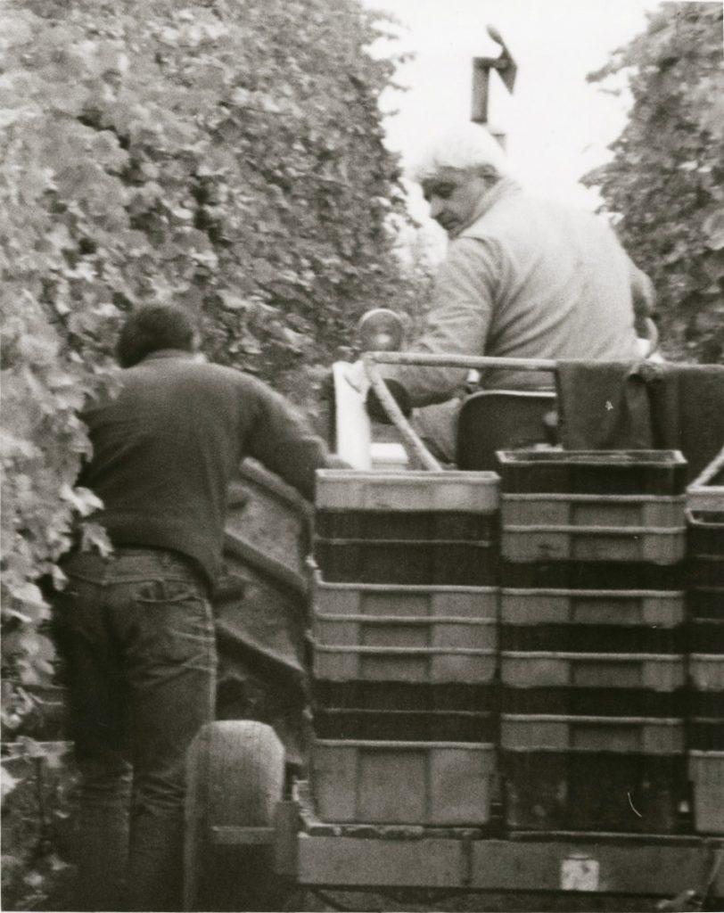 Mr. C harvesting grapes, Casa Larga Vineyards
