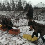 The ice wine harvest takes several hours, often starting before dawn and working through the day.