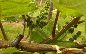Vineyard grapes, Casa Larga Vineyards