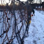 In this photo, the vineyard team is harvesting frozen Cabernet Franc grapes for ice wine.