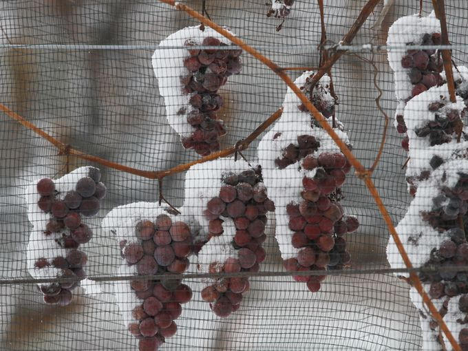 Ice wine harvest, Casa Larga Vineyards