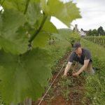Matt Cassavaugh, Head Winemaker in the Vineyard