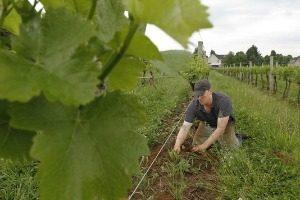 Matt Cassavaugh in the vineyards, Casa Larga Vineyards