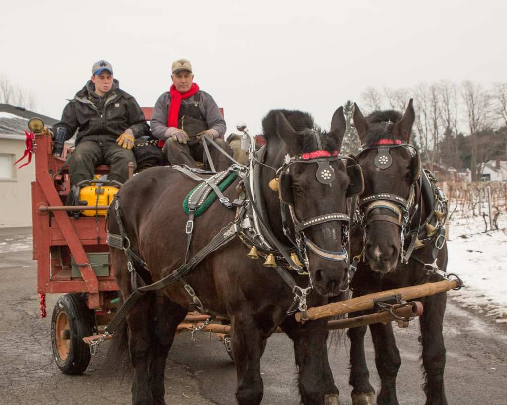 Horse and Carriage at NY Ice Wine & Culinary Festival at Casa Larga Vineyards